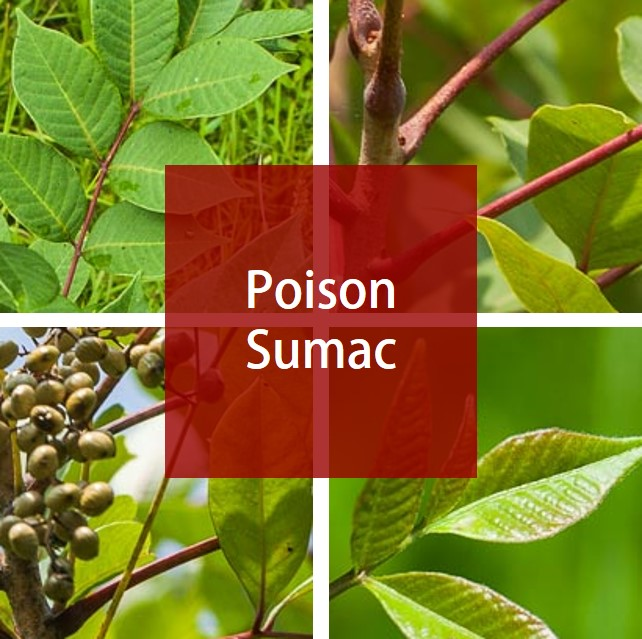 Poison Sumac Medicare Solutions Blog